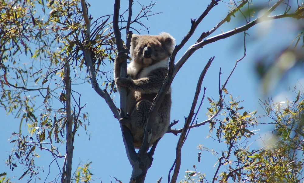 a-koala-easily-spotted-for-once-australia
