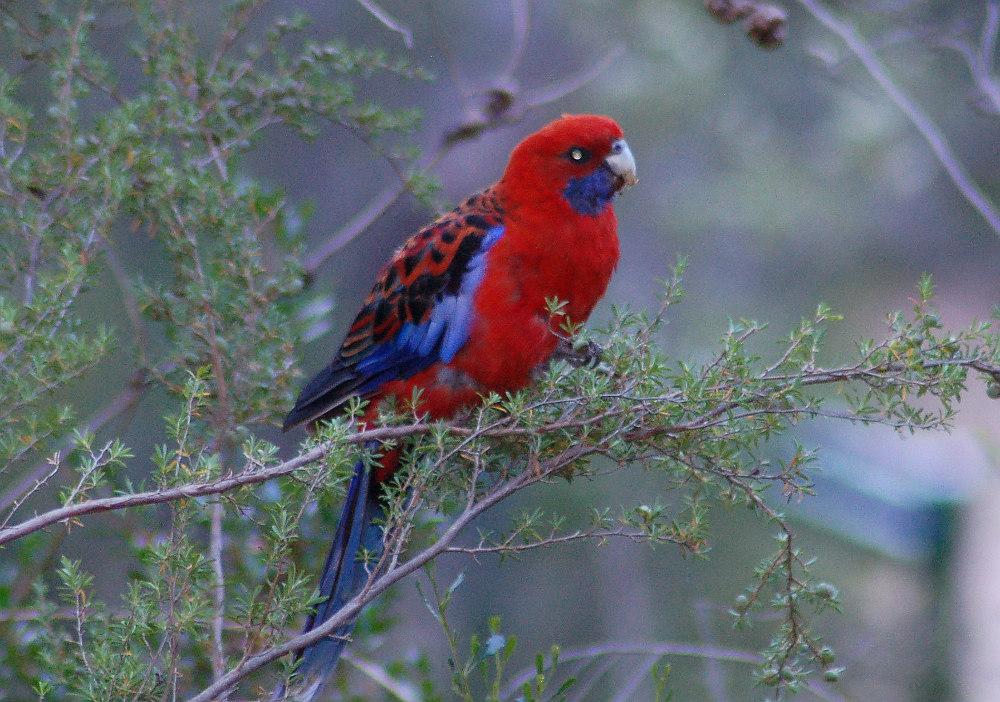 crimson-rosella-australia