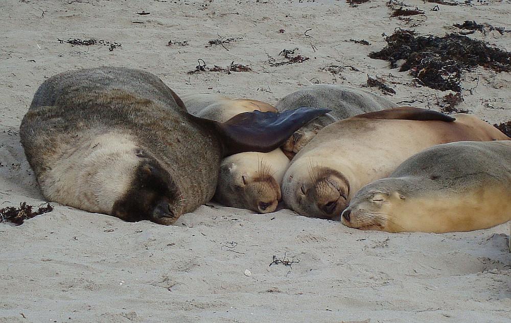 pile-of-sea-lions-kangaroo-island-australia