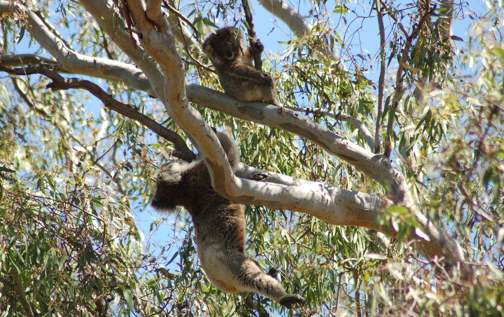 woops-how-did-that-happen-koalas-australia