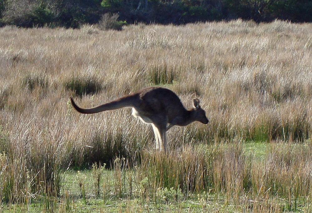 Jumping kangaroo, Australia