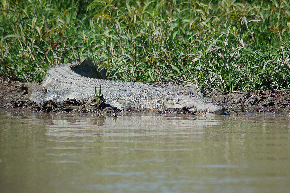 big-croc-in-kakadu-national-park-australia