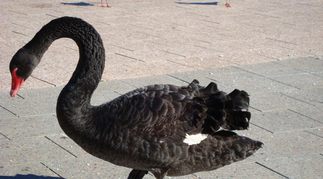 Black swan, Australia